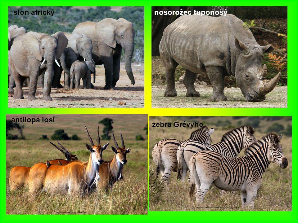 slon africký nosorožec tuponosý antilopa losí zebra Grévyho