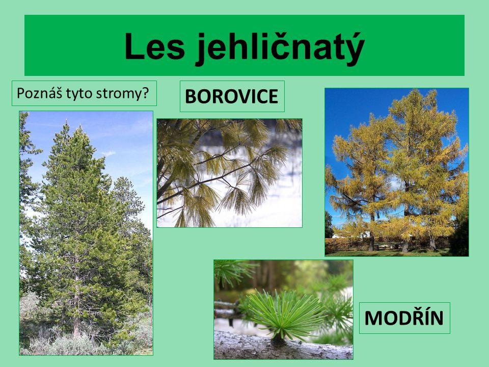 Les jehličnatý Poznáš tyto stromy BOROVICE MODŘÍN