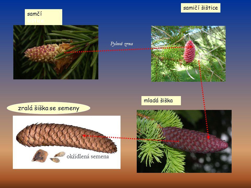 zralá šiška se semeny okřídlená semena samičí šištice samčí šištice