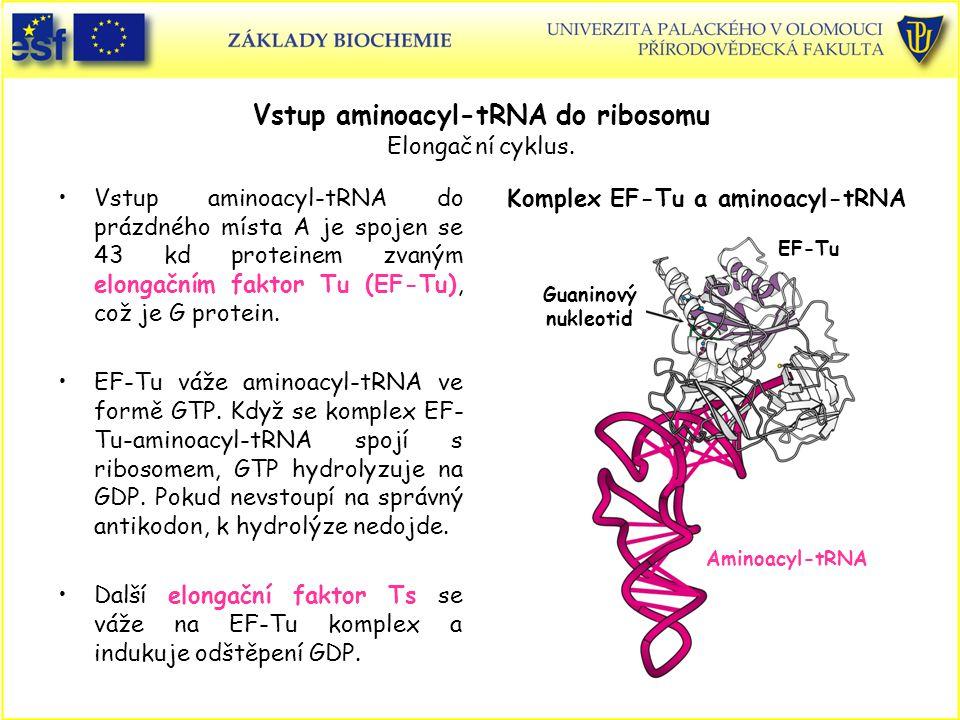 Vstup aminoacyl-tRNA do ribosomu Elongační cyklus.