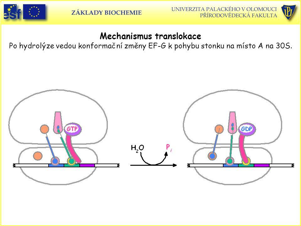 Mechanismus translokace Po hydrolýze vedou konformační změny EF-G k pohybu stonku na místo A na 30S.