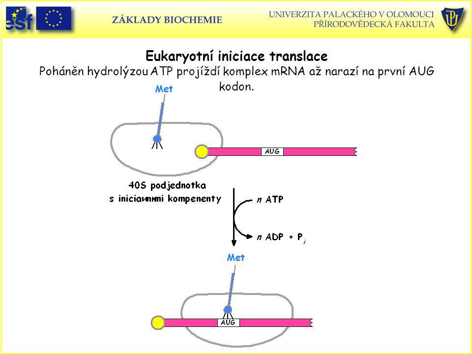 Eukaryotní iniciace translace Poháněn hydrolýzou ATP projíždí komplex mRNA až narazí na první AUG kodon.