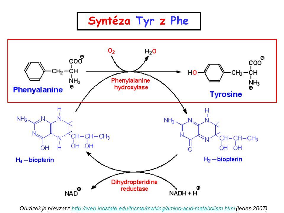 Syntéza Tyr z Phe Obrázek je převzat z http://web.indstate.edu/thcme/mwking/amino-acid-metabolism.html (leden 2007)