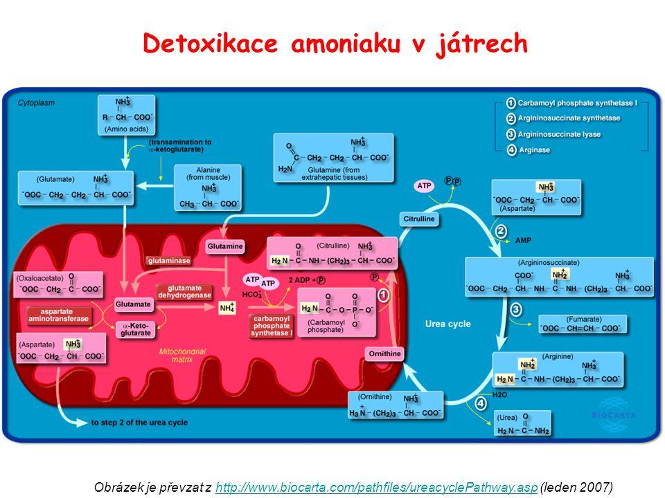 Detoxikace amoniaku v játrech