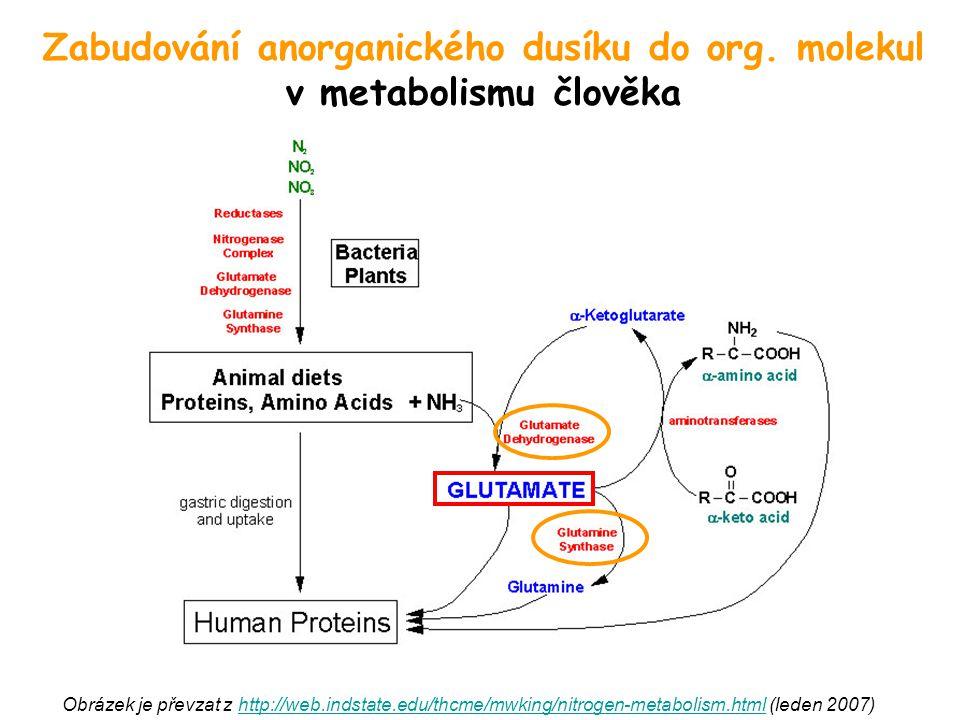 Zabudování anorganického dusíku do org. molekul v metabolismu člověka