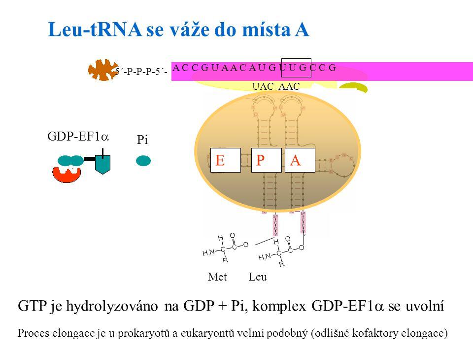 Leu-tRNA se váže do místa A