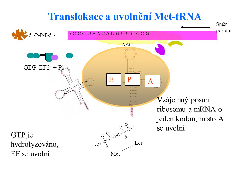Translokace a uvolnění Met-tRNA