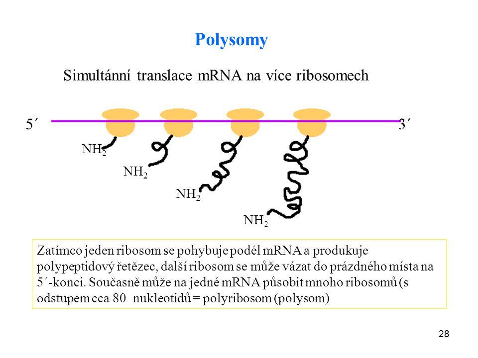 Polysomy Simultánní translace mRNA na více ribosomech 5´ 3´ NH2 NH2