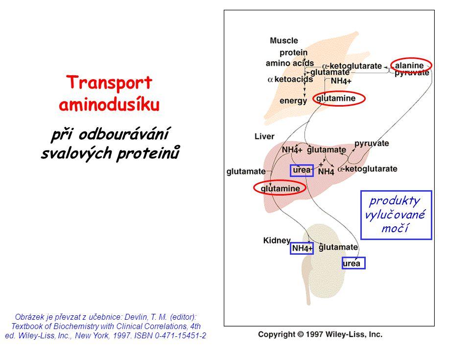 Transport aminodusíku při odbourávání svalových proteinů