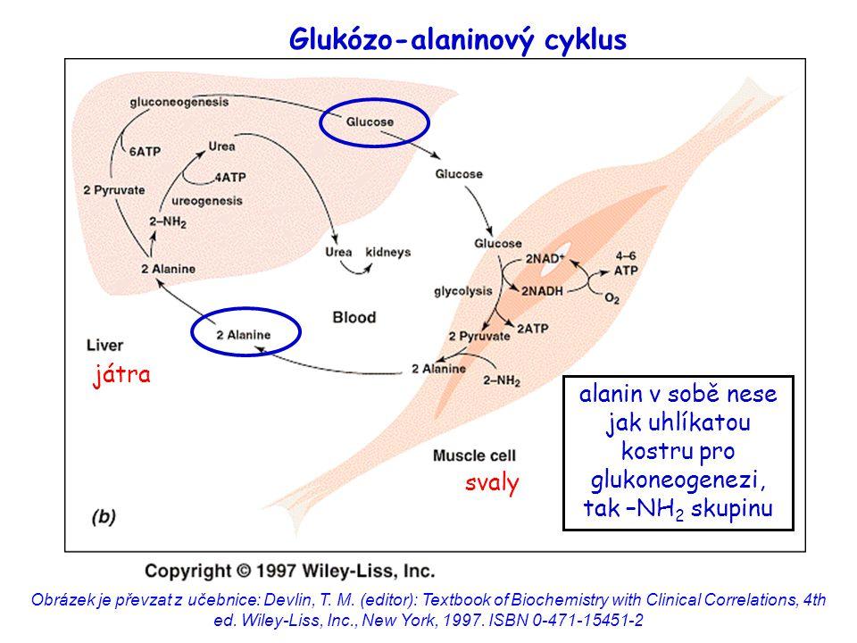 Glukózo-alaninový cyklus