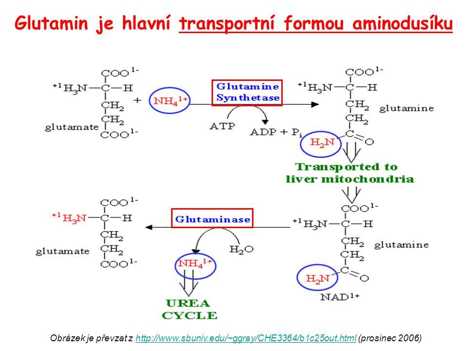Glutamin je hlavní transportní formou aminodusíku