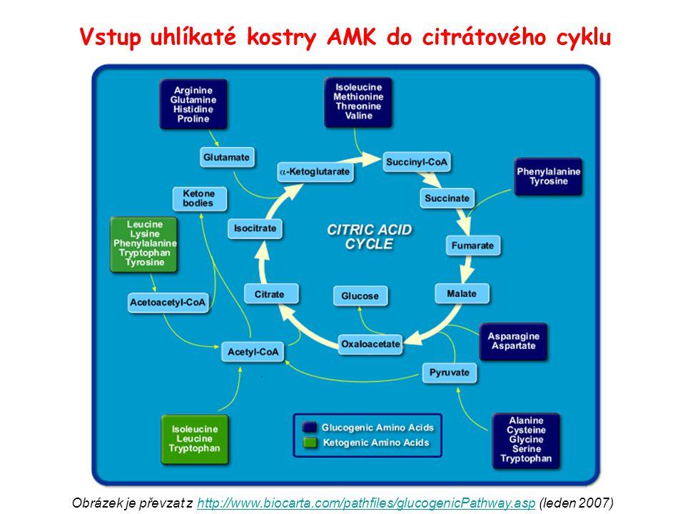 Vstup uhlíkaté kostry AMK do citrátového cyklu