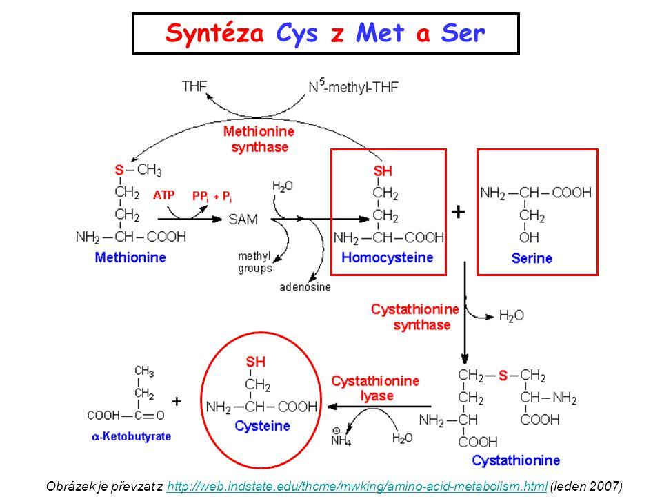 Syntéza Cys z Met a Ser Obrázek je převzat z http://web.indstate.edu/thcme/mwking/amino-acid-metabolism.html (leden 2007)