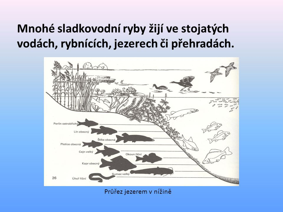 Mnohé sladkovodní ryby žijí ve stojatých vodách, rybnících, jezerech či přehradách.