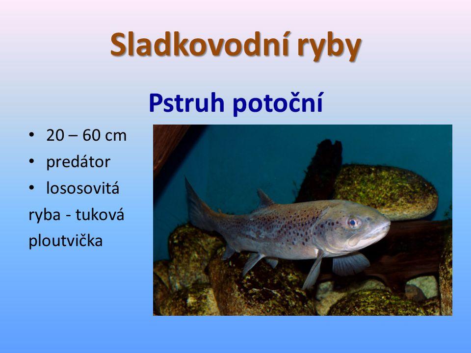 Sladkovodní ryby Pstruh potoční 20 – 60 cm predátor lososovitá