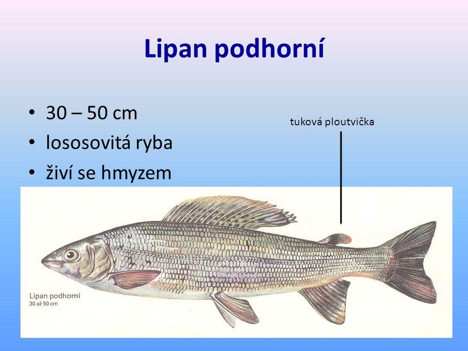 Lipan podhorní 30 – 50 cm lososovitá ryba živí se hmyzem