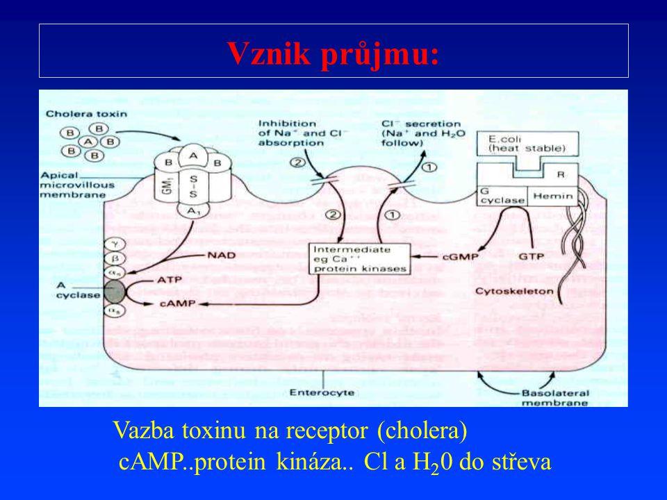 Vznik průjmu: Vazba toxinu na receptor (cholera)