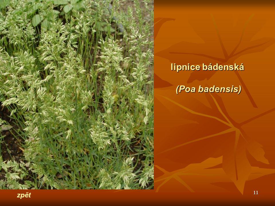 lipnice bádenská (Poa badensis) zpět