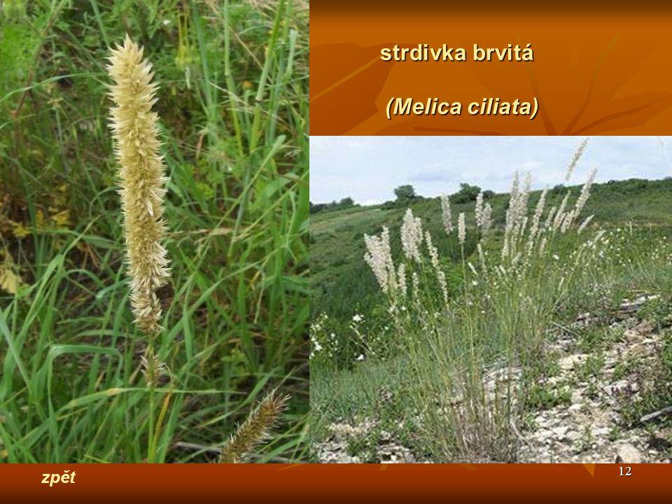 strdivka brvitá (Melica ciliata) zpět