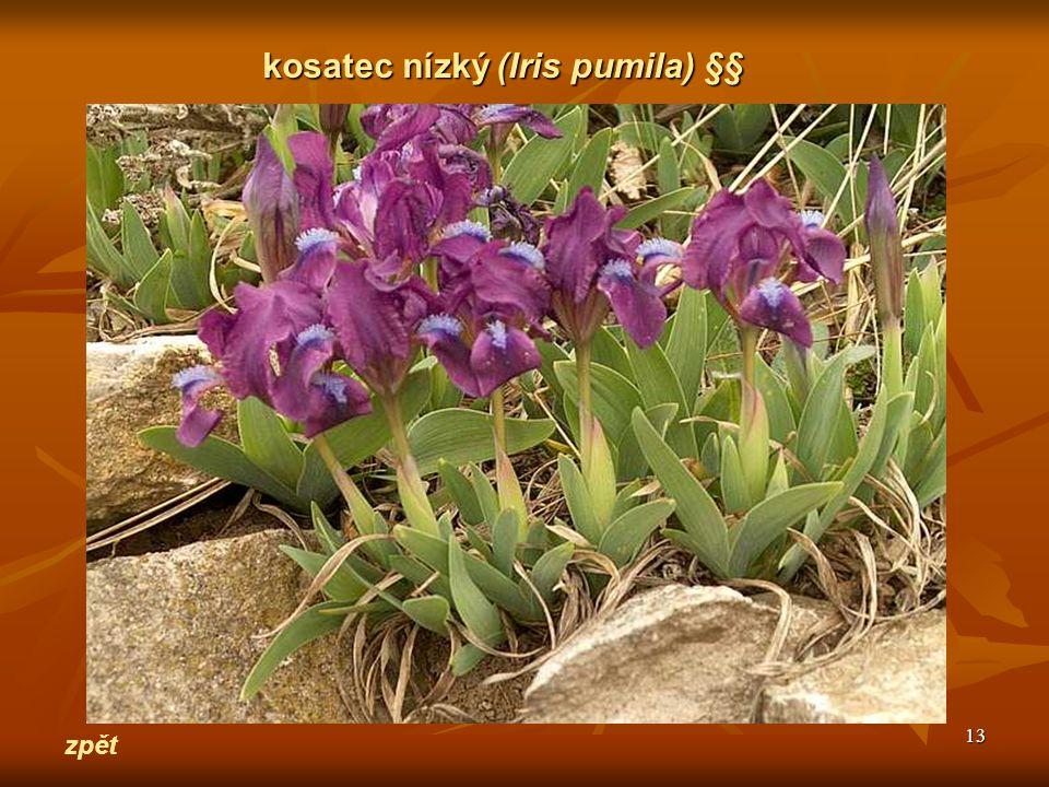 kosatec nízký (Iris pumila) §§