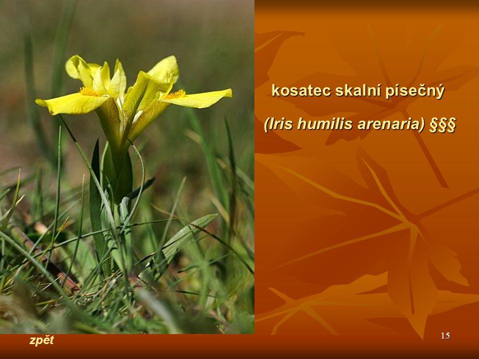 (Iris humilis arenaria) §§§