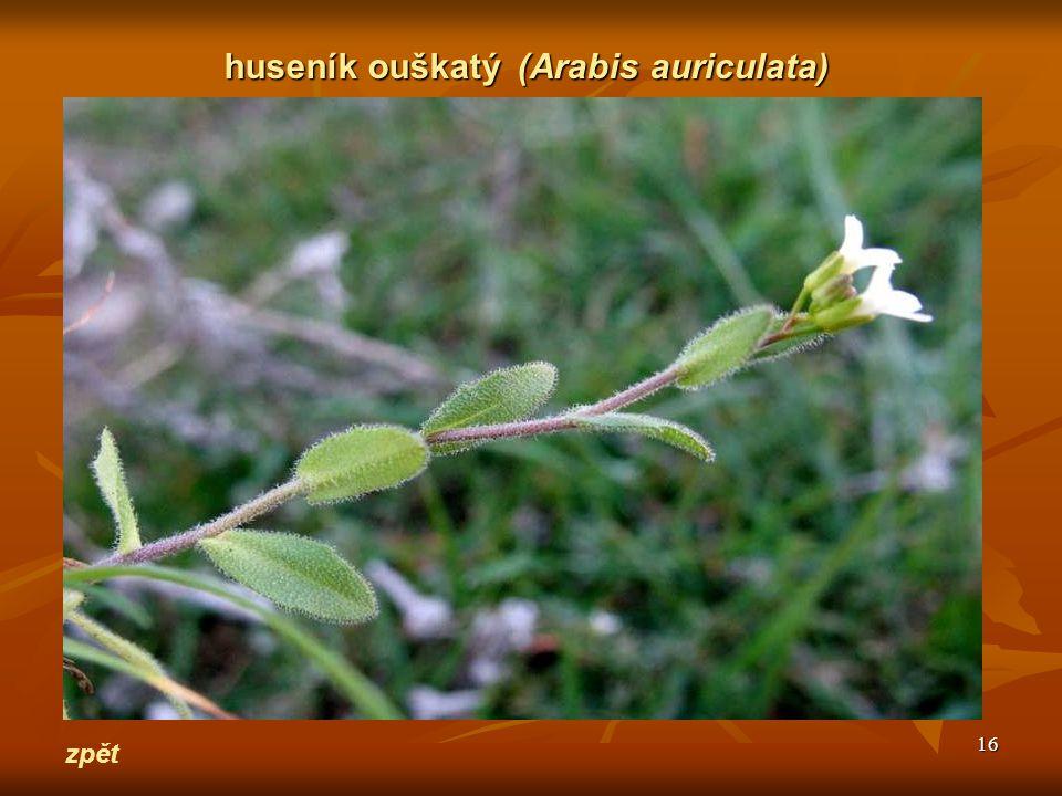 huseník ouškatý (Arabis auriculata)