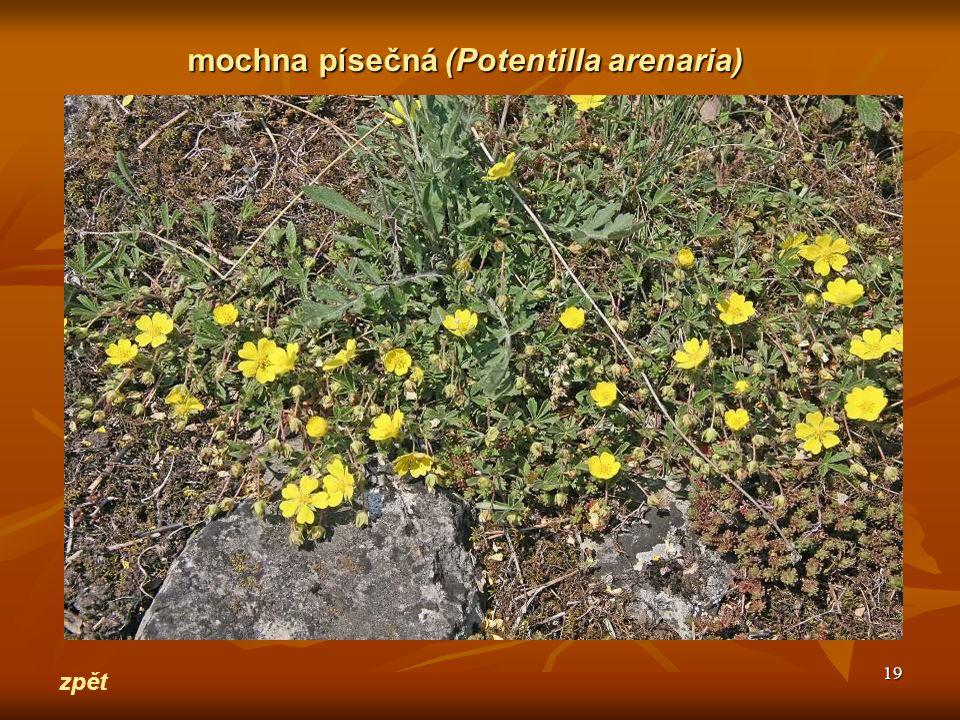mochna písečná (Potentilla arenaria)