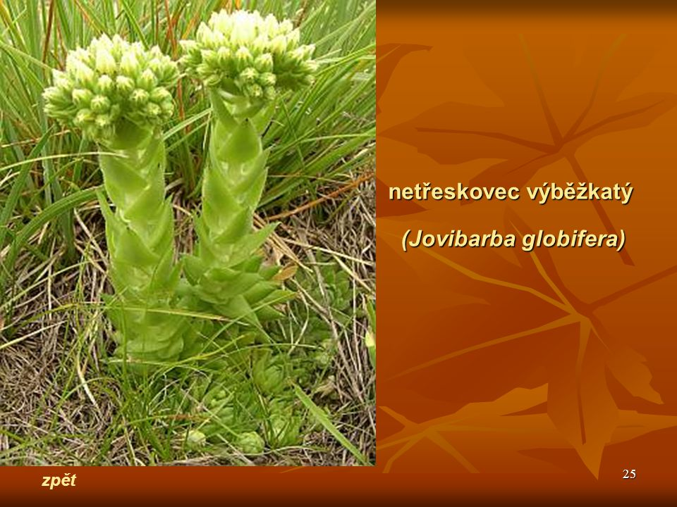 (Jovibarba globifera)