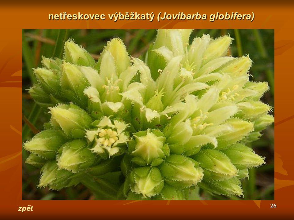 netřeskovec výběžkatý (Jovibarba globifera)