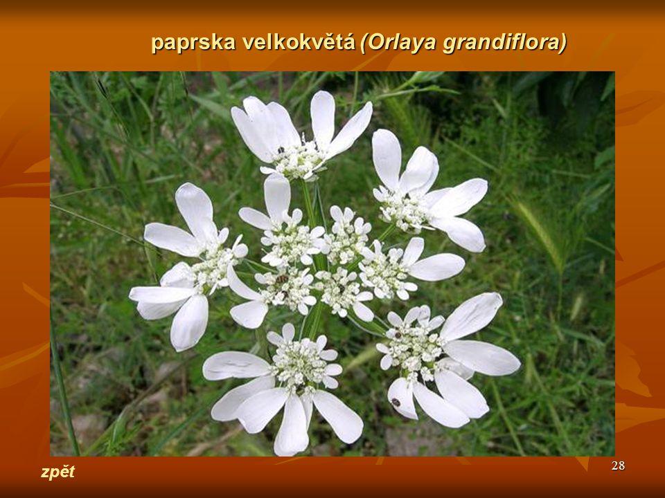 paprska velkokvětá (Orlaya grandiflora)