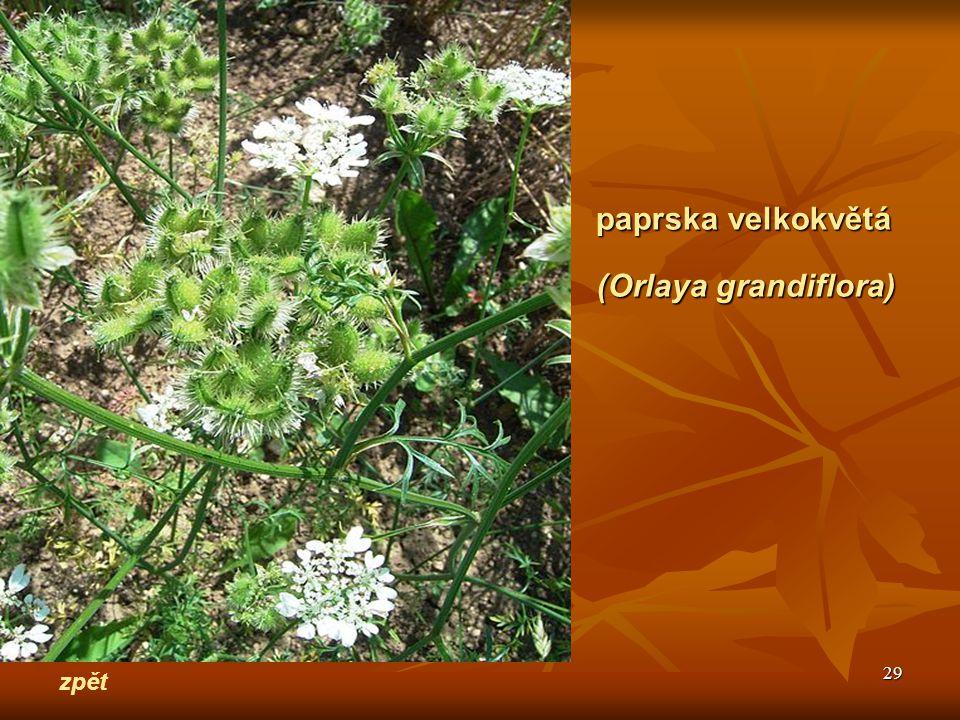 paprska velkokvětá (Orlaya grandiflora) zpět