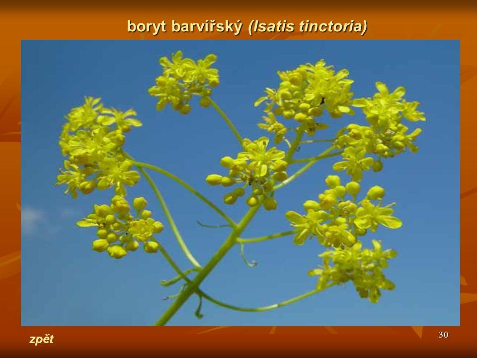 boryt barvířský (Isatis tinctoria)