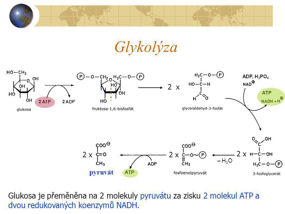 Glykolýza pyruvát. 2. 2 x. ADP, H3PO4. ATP. – H2O. 2 x. 2 x. 2 x. Glukosa je přeměněna na 2 molekuly pyruvátu za zisku 2 molekul ATP a.