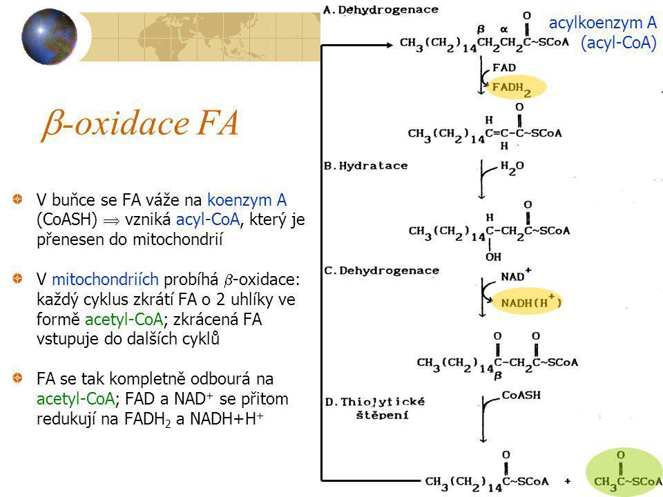-oxidace FA acylkoenzym A (acyl-CoA)