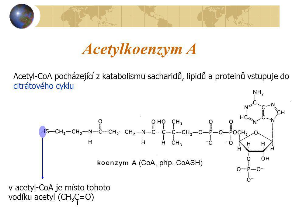 Acetylkoenzym A Acetyl-CoA pocházející z katabolismu sacharidů, lipidů a proteinů vstupuje do citrátového cyklu.