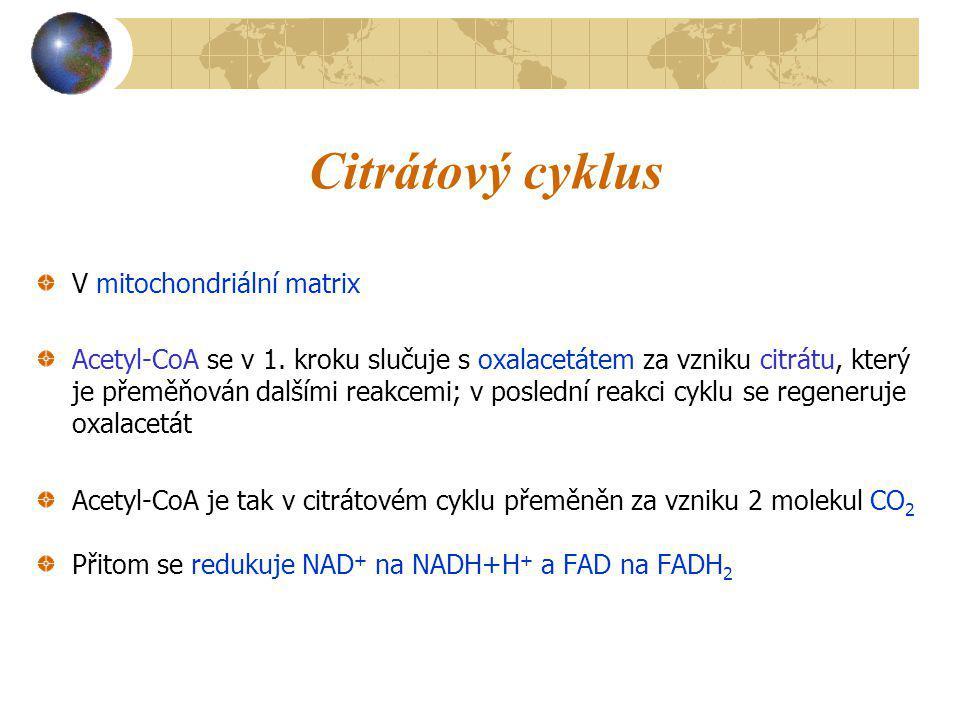 Citrátový cyklus V mitochondriální matrix