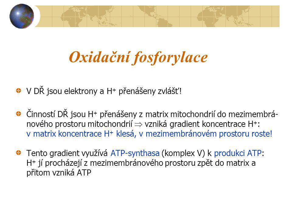 Oxidační fosforylace V DŘ jsou elektrony a H+ přenášeny zvlášť!