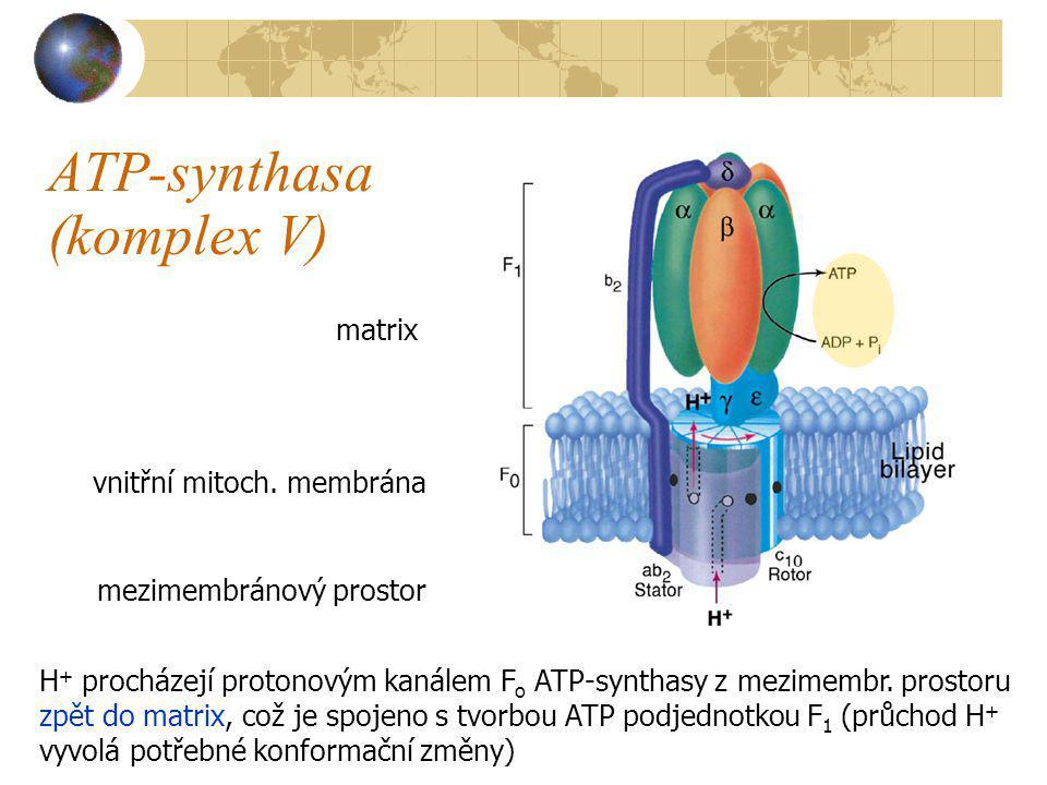 ATP-synthasa (komplex V)