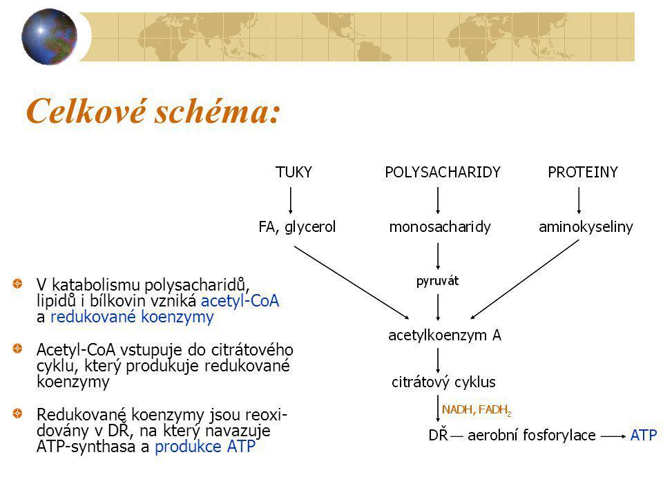 Celkové schéma: V katabolismu polysacharidů, lipidů i bílkovin vzniká acetyl-CoA a redukované koenzymy.