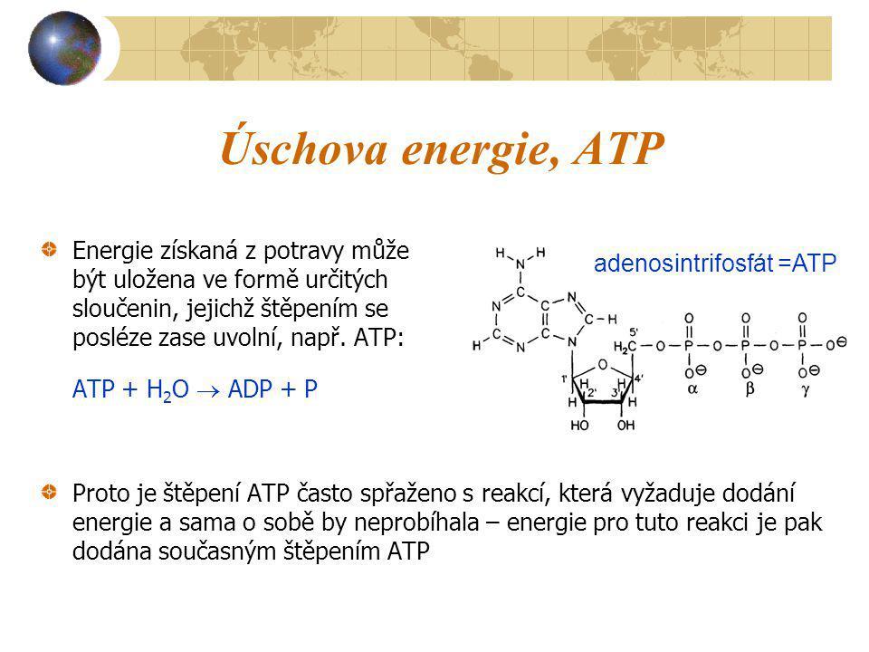 Úschova energie, ATP Energie získaná z potravy může být uložena ve formě určitých sloučenin, jejichž štěpením se posléze zase uvolní, např. ATP: