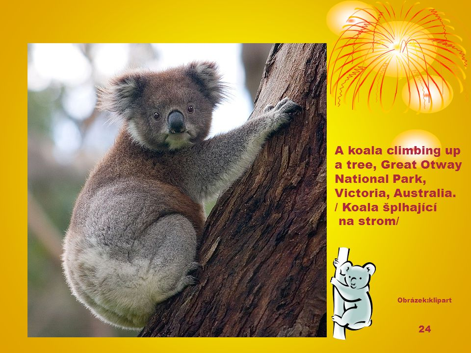 A koala climbing up a tree, Great Otway National Park,