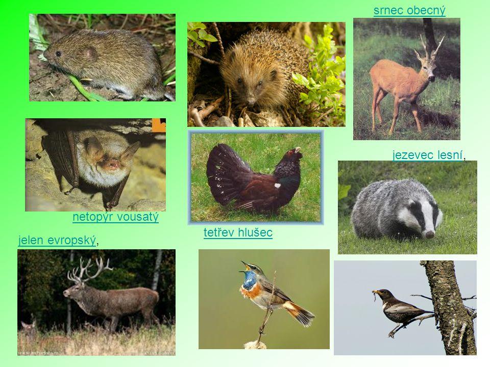 srnec obecný jezevec lesní, netopýr vousatý tetřev hlušec jelen evropský,