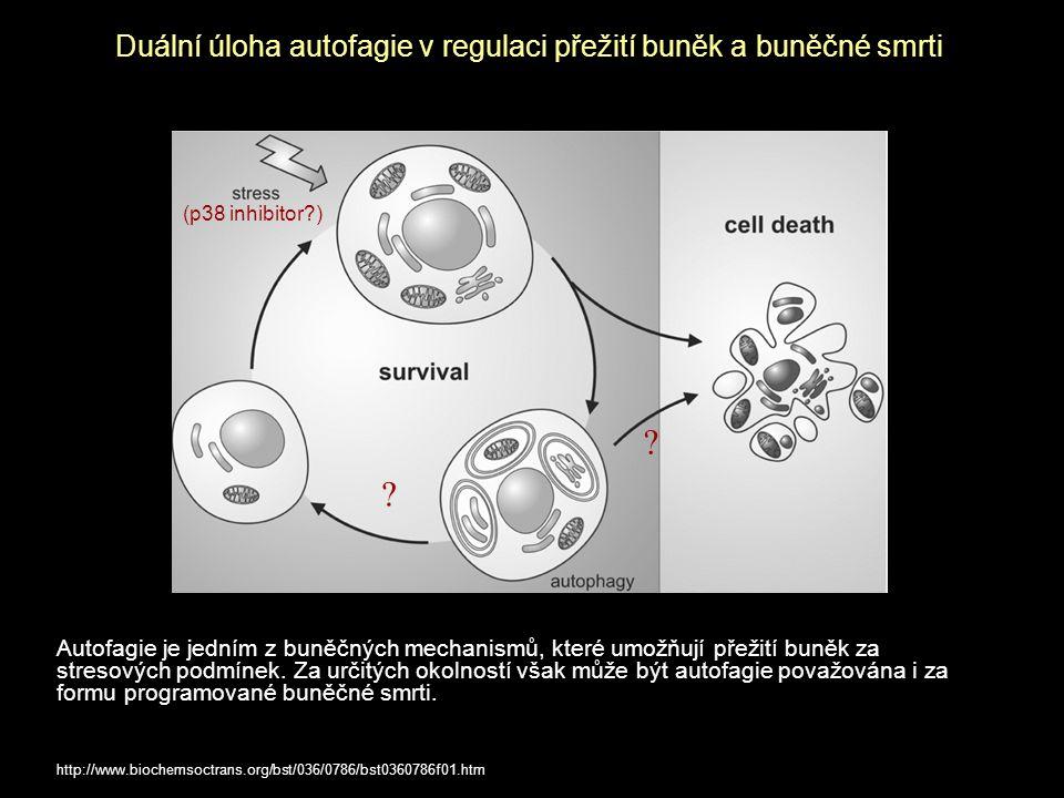 Duální úloha autofagie v regulaci přežití buněk a buněčné smrti