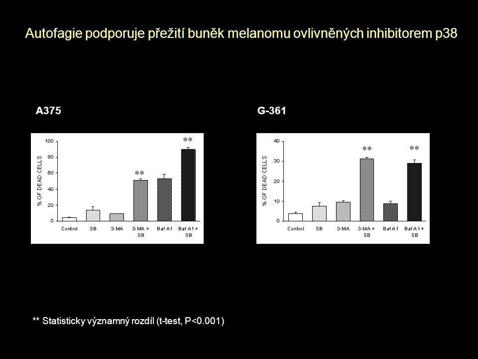 Autofagie podporuje přežití buněk melanomu ovlivněných inhibitorem p38