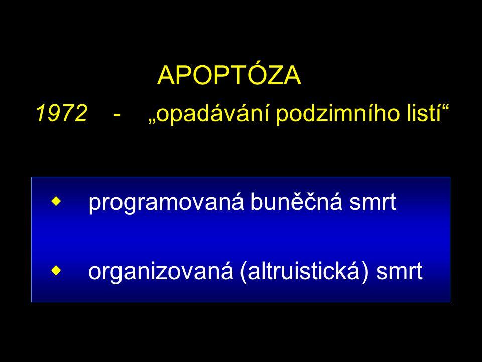 """APOPTÓZA 1972 - """"opadávání podzimního listí programovaná buněčná smrt"""