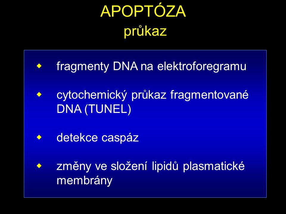 APOPTÓZA průkaz fragmenty DNA na elektroforegramu