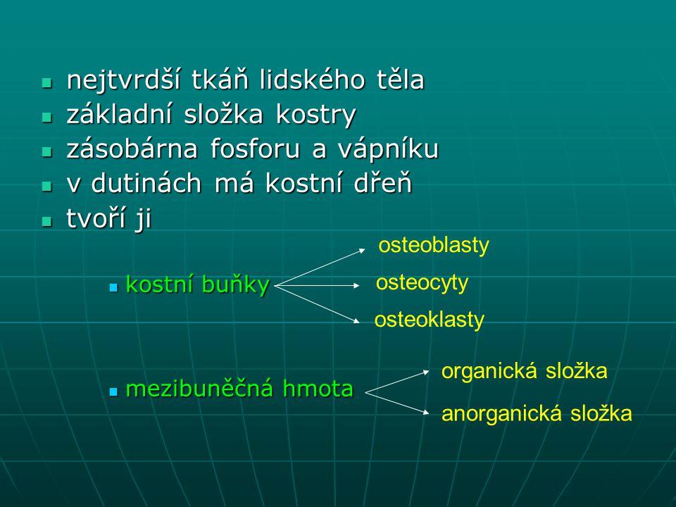 nejtvrdší tkáň lidského těla základní složka kostry