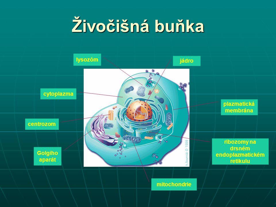 ribozomy na drsném endoplazmatickém retikulu