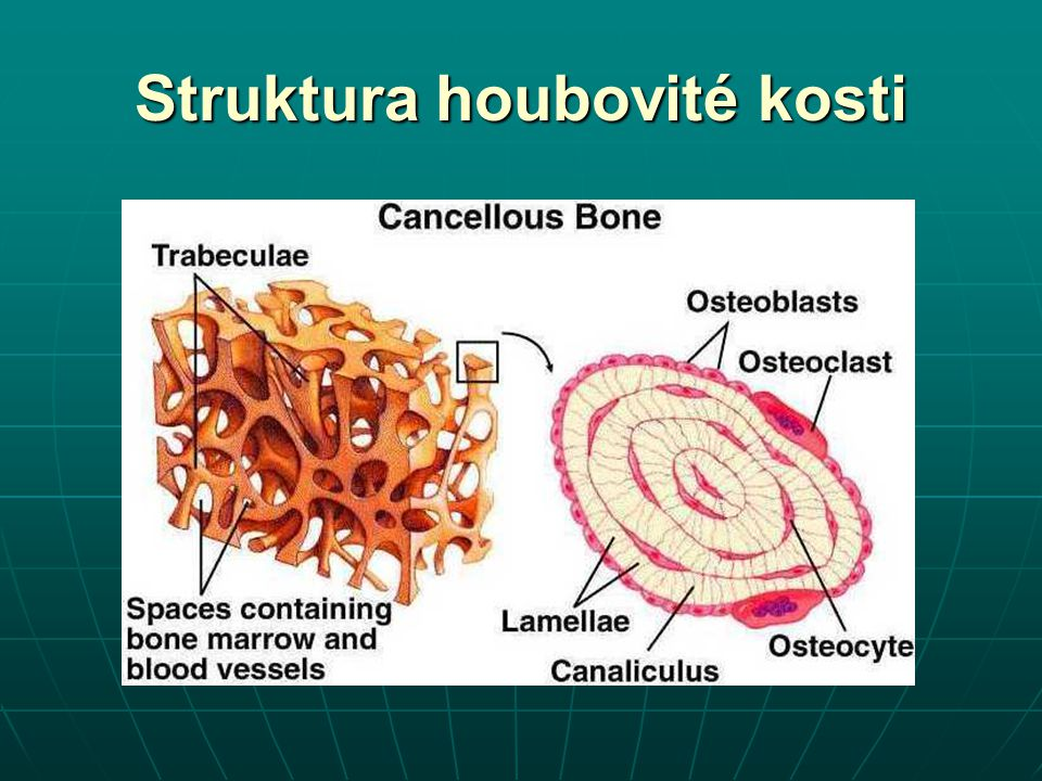 Struktura houbovité kosti