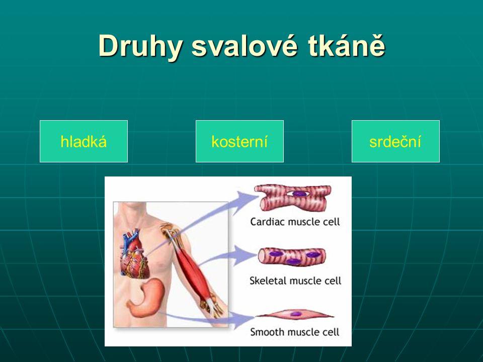 Druhy svalové tkáně hladká kosterní srdeční